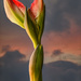 Amaryllis Buds from Plant #2 by taffy