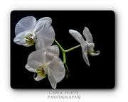 28th Dec 2019 - Orchids