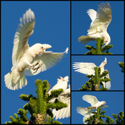 28th Dec 2019 - Corellas At Play