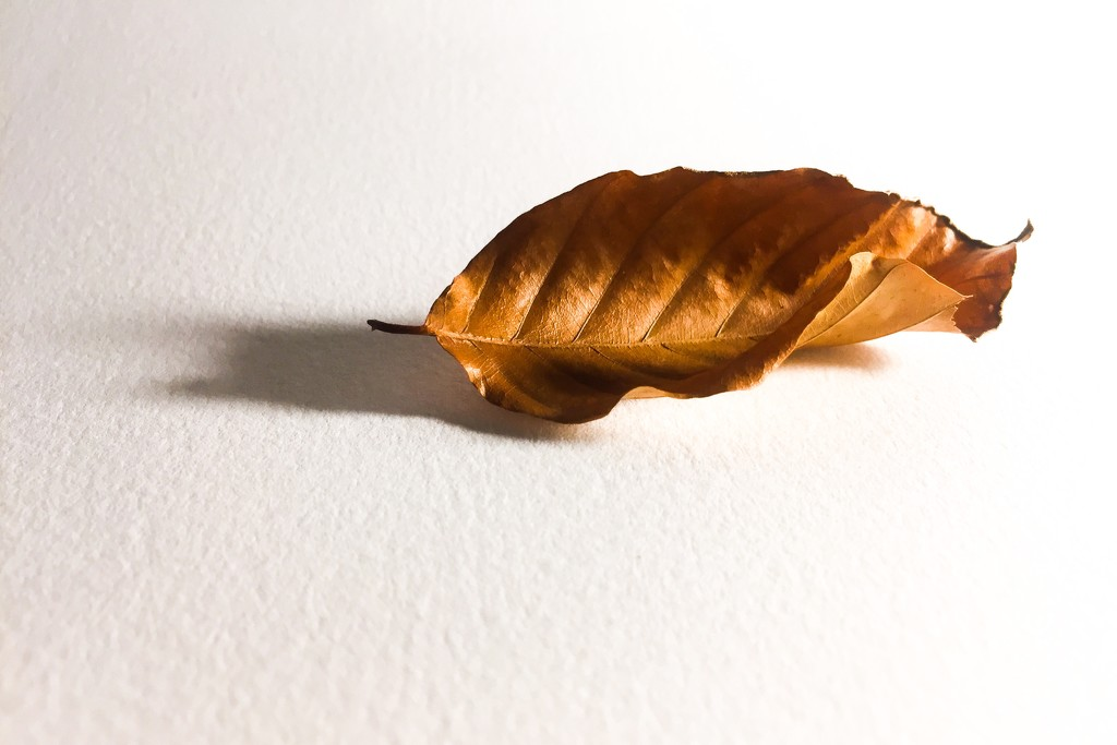 Copper Beech Leaf by imnorman