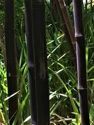 28th Dec 2019 - Bamboo