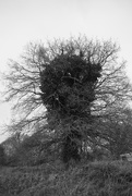 28th Dec 2019 - Oak tree or the bust of Michaelangelo?