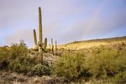 28th Dec 2019 - Saguaros with a little bonus rainbow