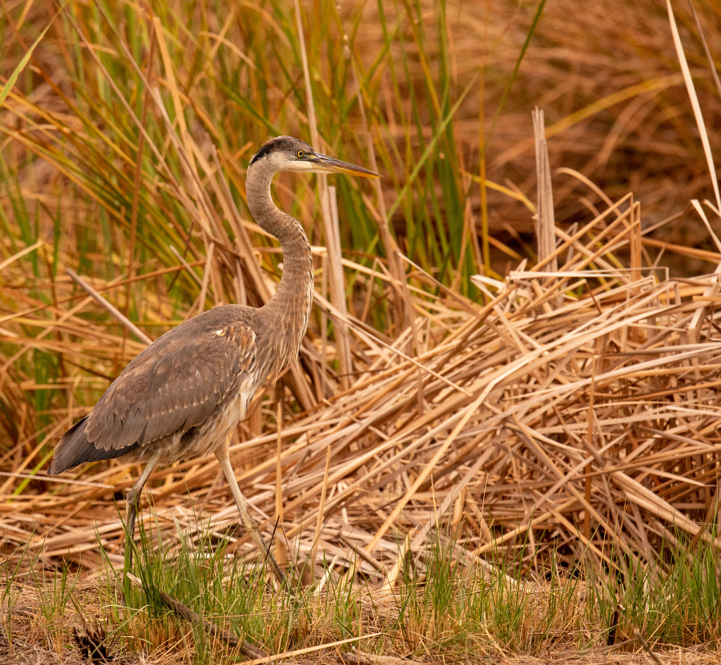 Blue Heron Watching the Fisherman! by rickster549