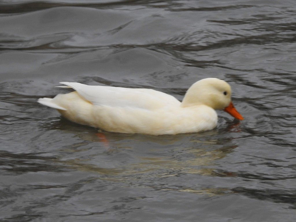 White Duck by oldjosh