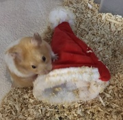 26th Dec 2019 - Hammie and his Christmas hat!