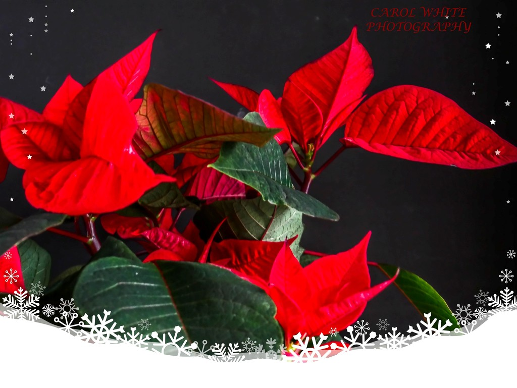 Poinsettia by carolmw