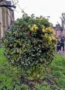 21st Dec 2019 - Holly bush