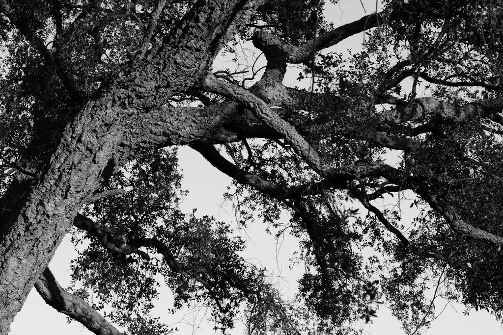 Very old cork oak tree by angelikavr