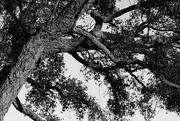 29th Dec 2019 - Very old cork oak tree