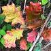 Late December Autumn color