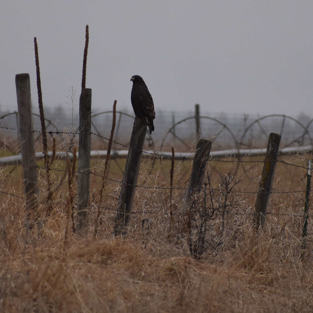 Lone Hawk by bjywamer