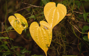 29th Dec 2019 - Heart Leaves!