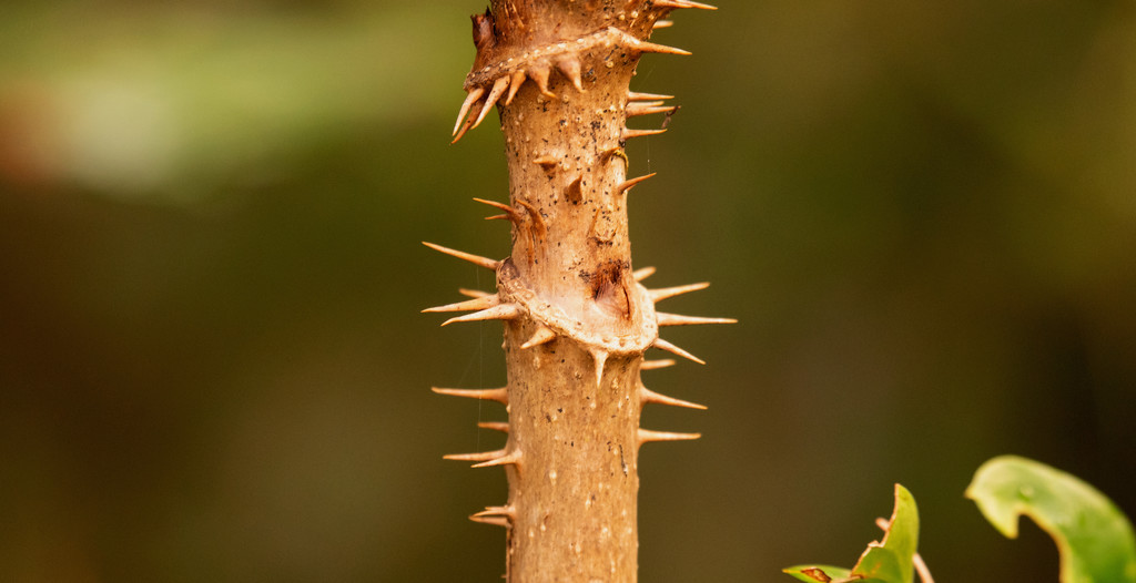 Thorns! by rickster549