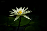30th Dec 2019 - White water lily