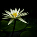 White water lily by maureenpp