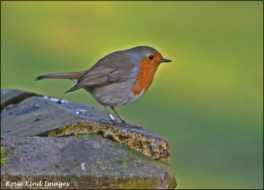 The friendly robin at RSPB by rosiekind