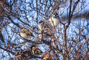 27th Dec 2019 - sparrows