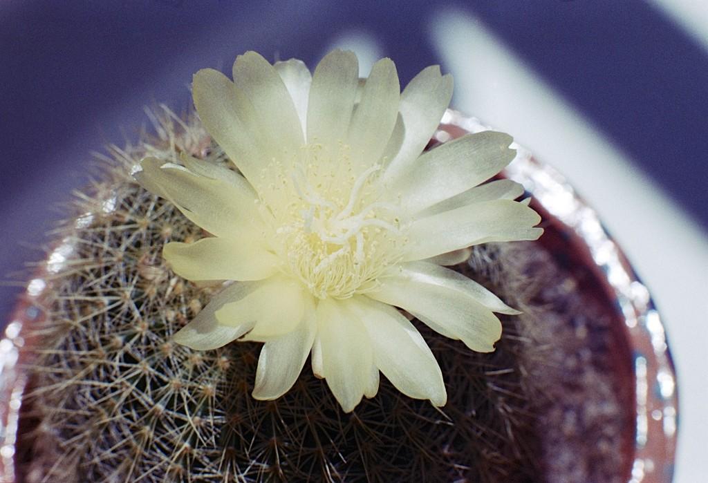 Cactus flower by peterdegraaff