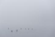 29th Dec 2019 - ducks in fog