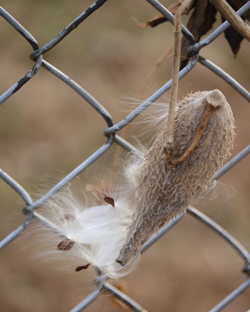 December 13: Milkweed by daisymiller