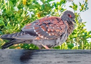 31st Dec 2019 - Speckled Pigeon