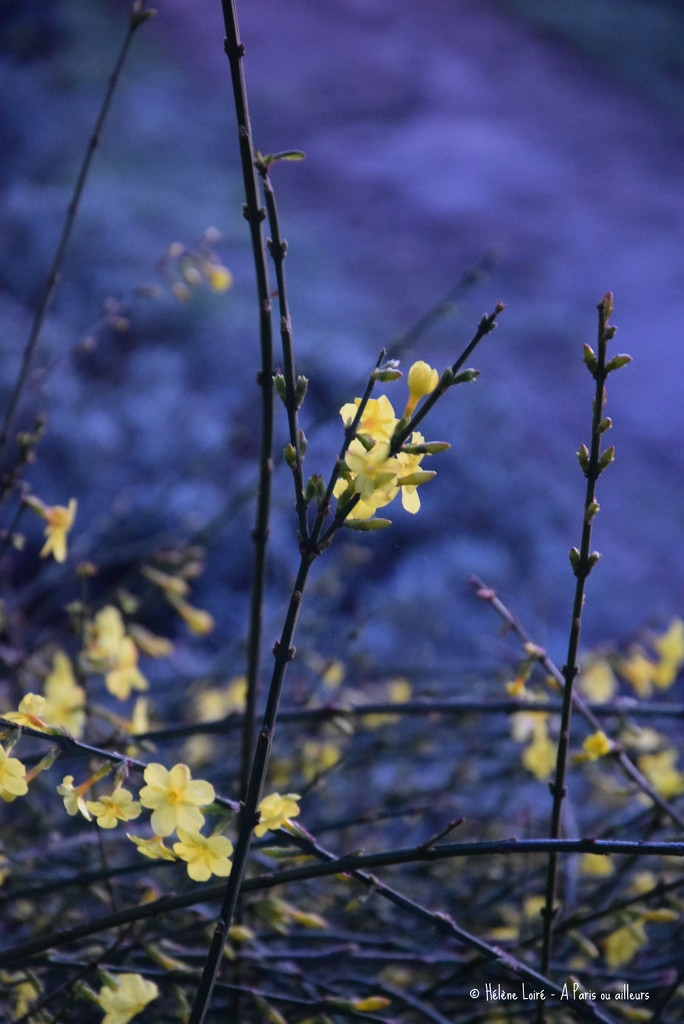 Winter Jasmine at dawn by parisouailleurs
