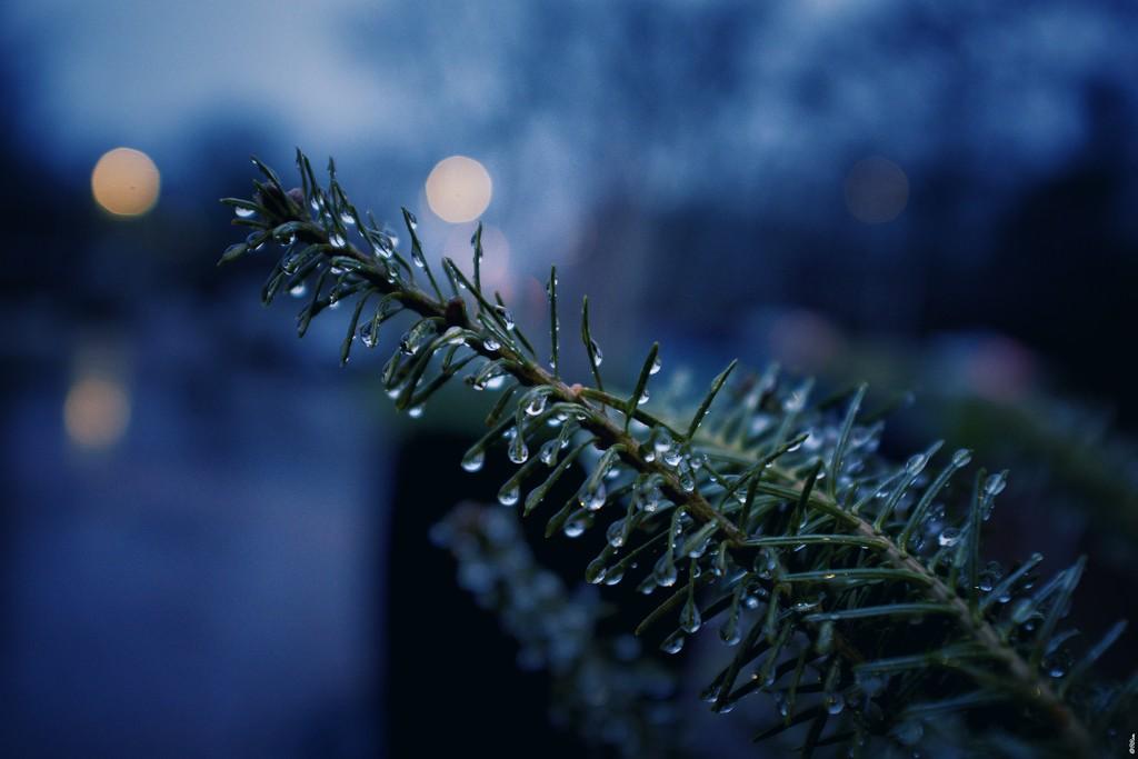 Pine & Rain by ramr