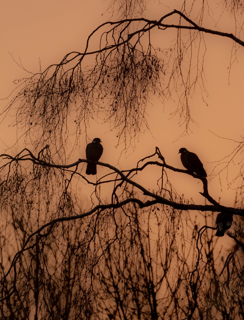 doves at dawn by shepherdmanswife