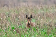 31st Dec 2019 - Hare's look at you kid.