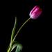 pink tulip by jernst1779