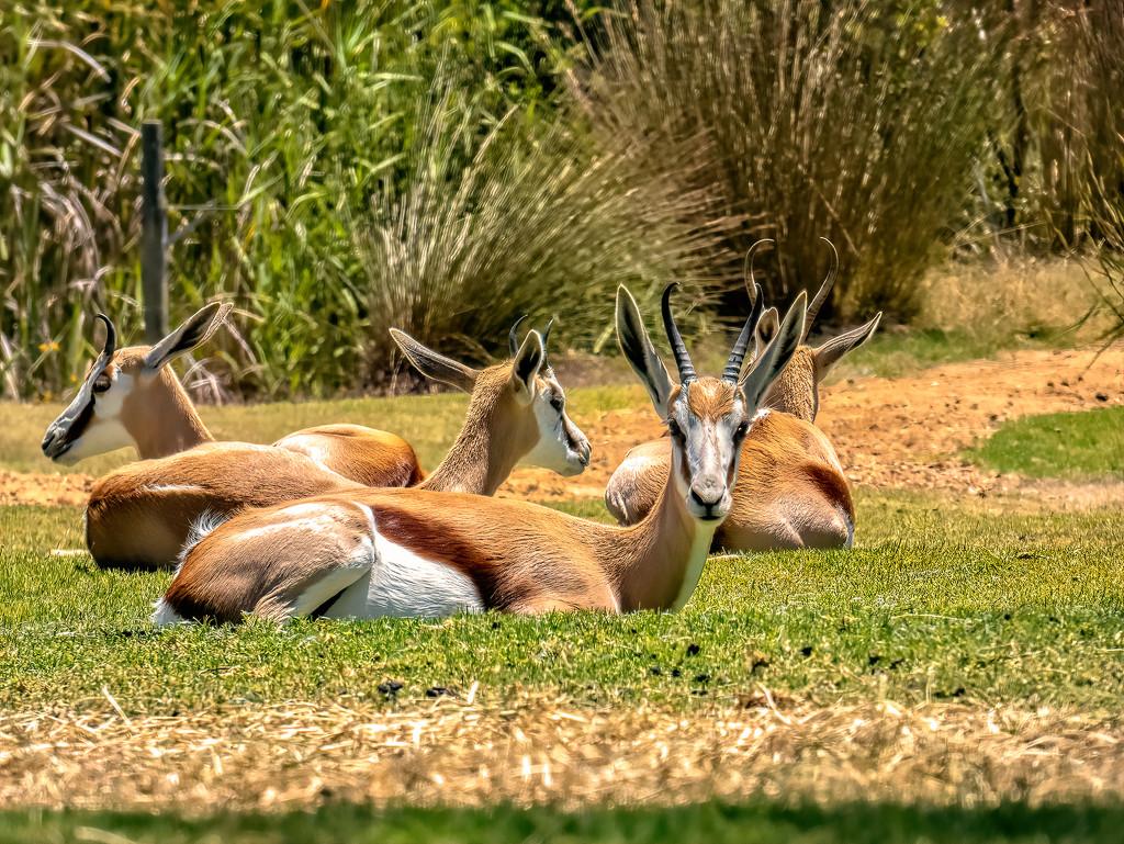 Springbuck lazing around by ludwigsdiana