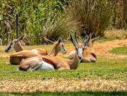 1st Jan 2020 - Springbuck lazing around