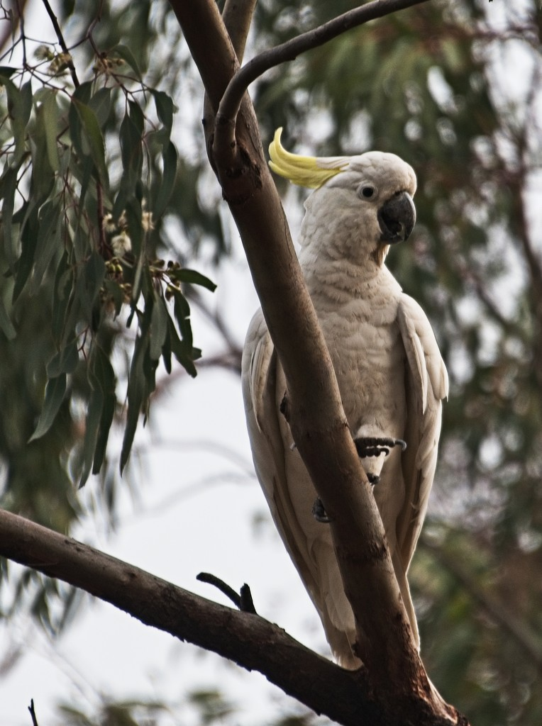 Yellow crested white cockatoo by fr1da