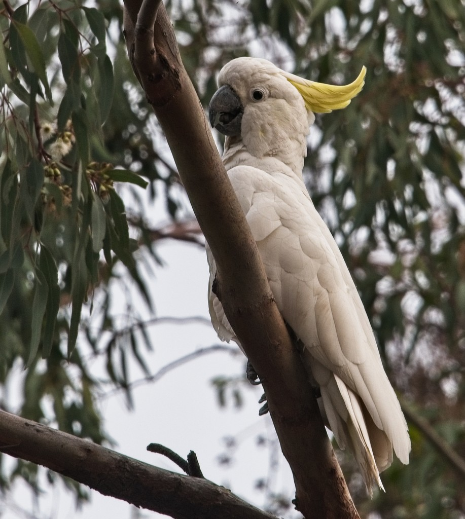 yellow crested white cockatoo (again ) by fr1da