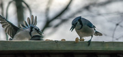 30th Dec 2019 - Two jays