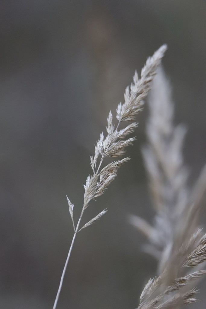 Dried Grass by phil_sandford