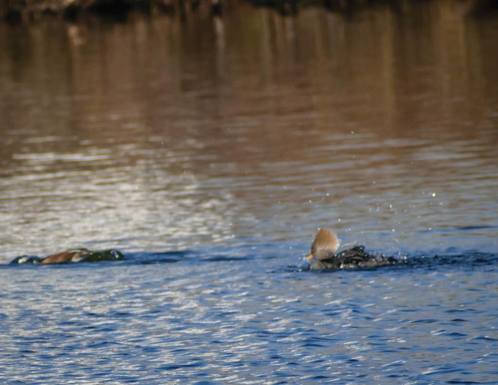 Wood Duck Fishing by marylandgirl58