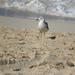 Paradise Gull