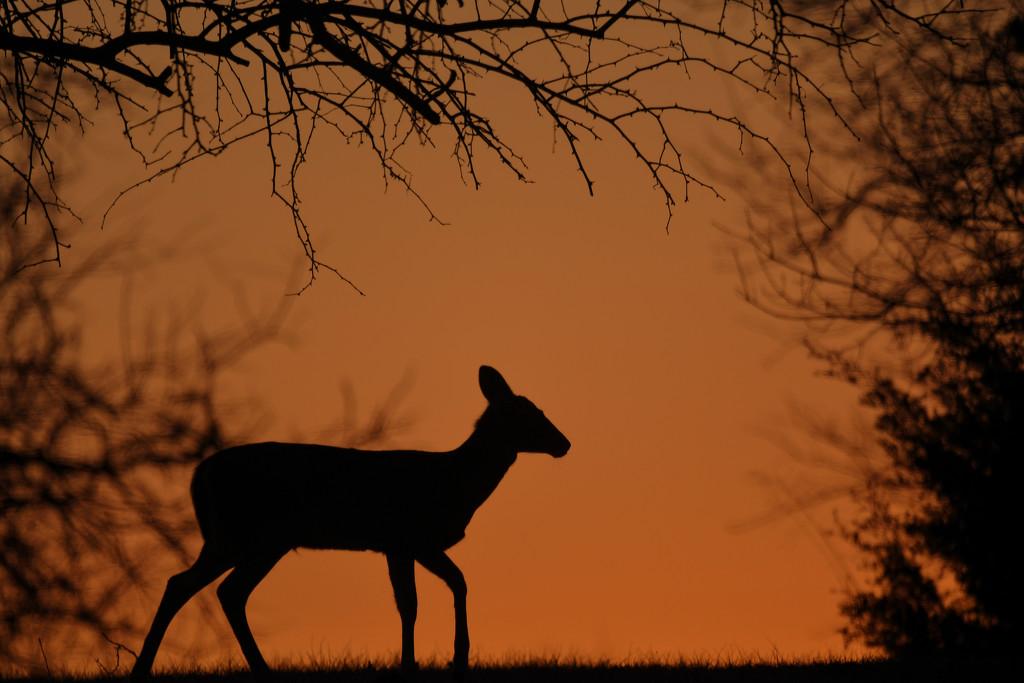 Deer Silhouette on Orange by kareenking