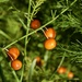 Asparagus Berries P1020155