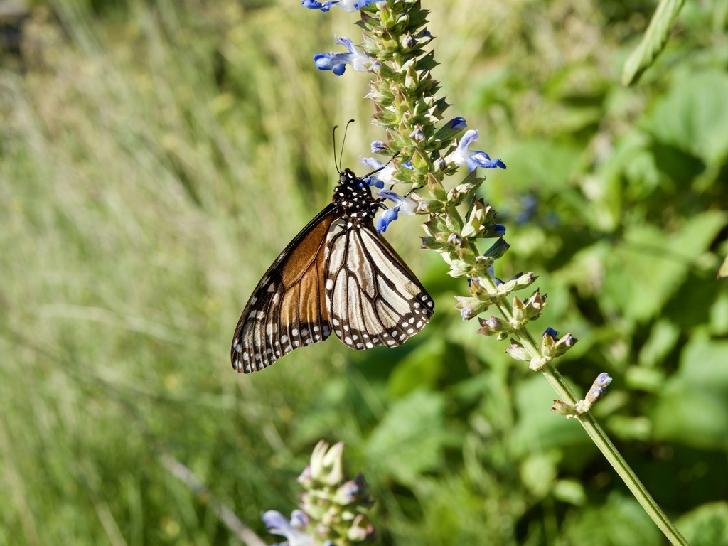 Chasing Butterflies P1020102 by merrelyn