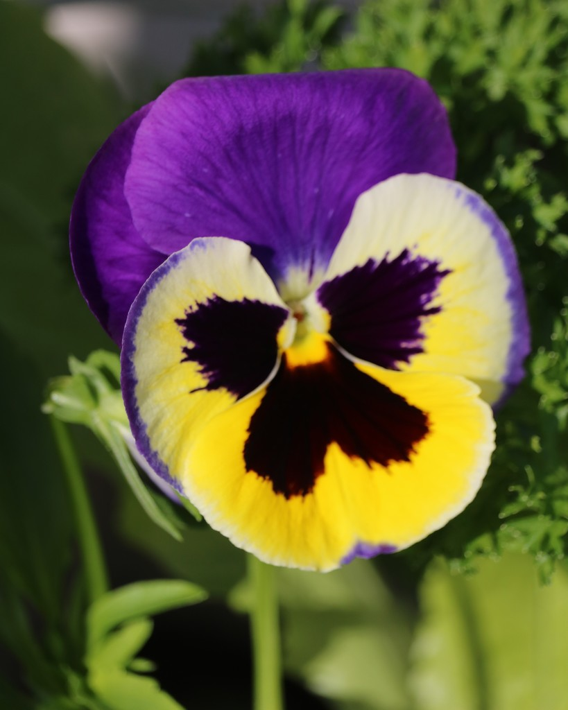January 2: Pansy by daisymiller