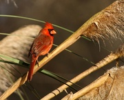 30th Dec 2019 - LHG__0716 Cardinal