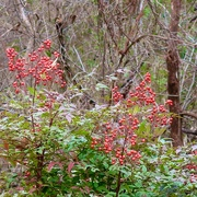 2nd Jan 2020 - The only color right now is the wild Nandina bushes and their berries