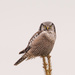 Northern Hawk Owl by mgmurray