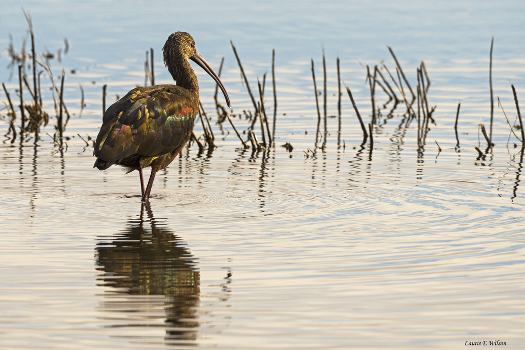 White-Faced Ibis Pondering the New Year by laurieewilson
