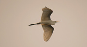 2nd Jan 2020 - Egret Fly-by!