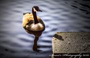 3rd Jan 2020 - Lonesome Goose