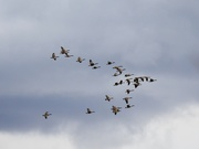 3rd Jan 2020 - Canada Geese